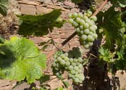 White grapes of the variety Riesling